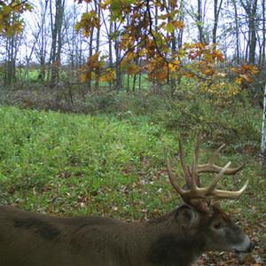 Stud Buck