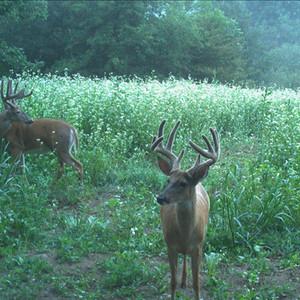 Summer bucks