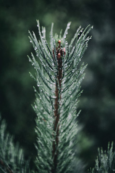 murmurs pine_8.jpg