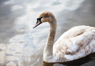 лебеди_08.jpg