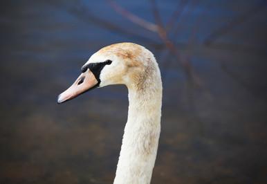 лебеди_06.jpg