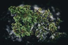 murmurs pine_5.jpg