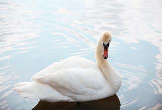 лебеди_09.jpg