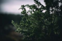 murmurs pine_2.jpg