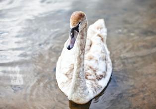 лебеди_07.jpg