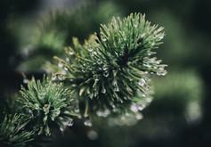 murmurs pine_3.jpg