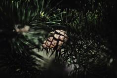 murmurs pine_7.jpg