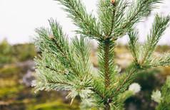 murmurs pine_9.jpg