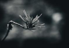 murmurs pine_6.jpg