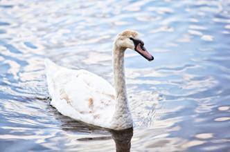 лебеди_02.jpg