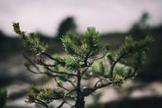 murmurs pine_1.jpg