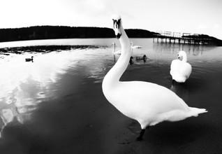 лебеди_01.jpg