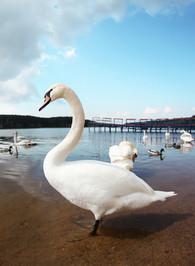 лебеди_03.jpg