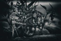 murmurs lowberry dark_5.jpg