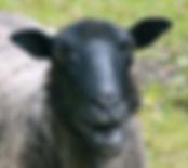 Fest Chron Sheep.jpg