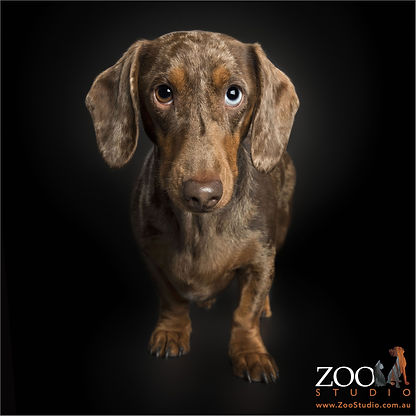 dachshund therapy dog