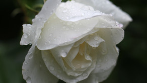 Life is a rose, a beautiful flower with its thorns