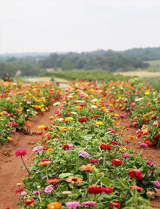 zinniw flower farm.jpg