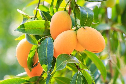 benefits of eating mango at night,