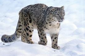 snow leopard ilbirs bars