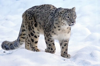snow leopard bars ilbirs