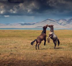 sonkol horses