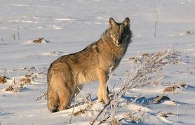 kyrgyz wolf