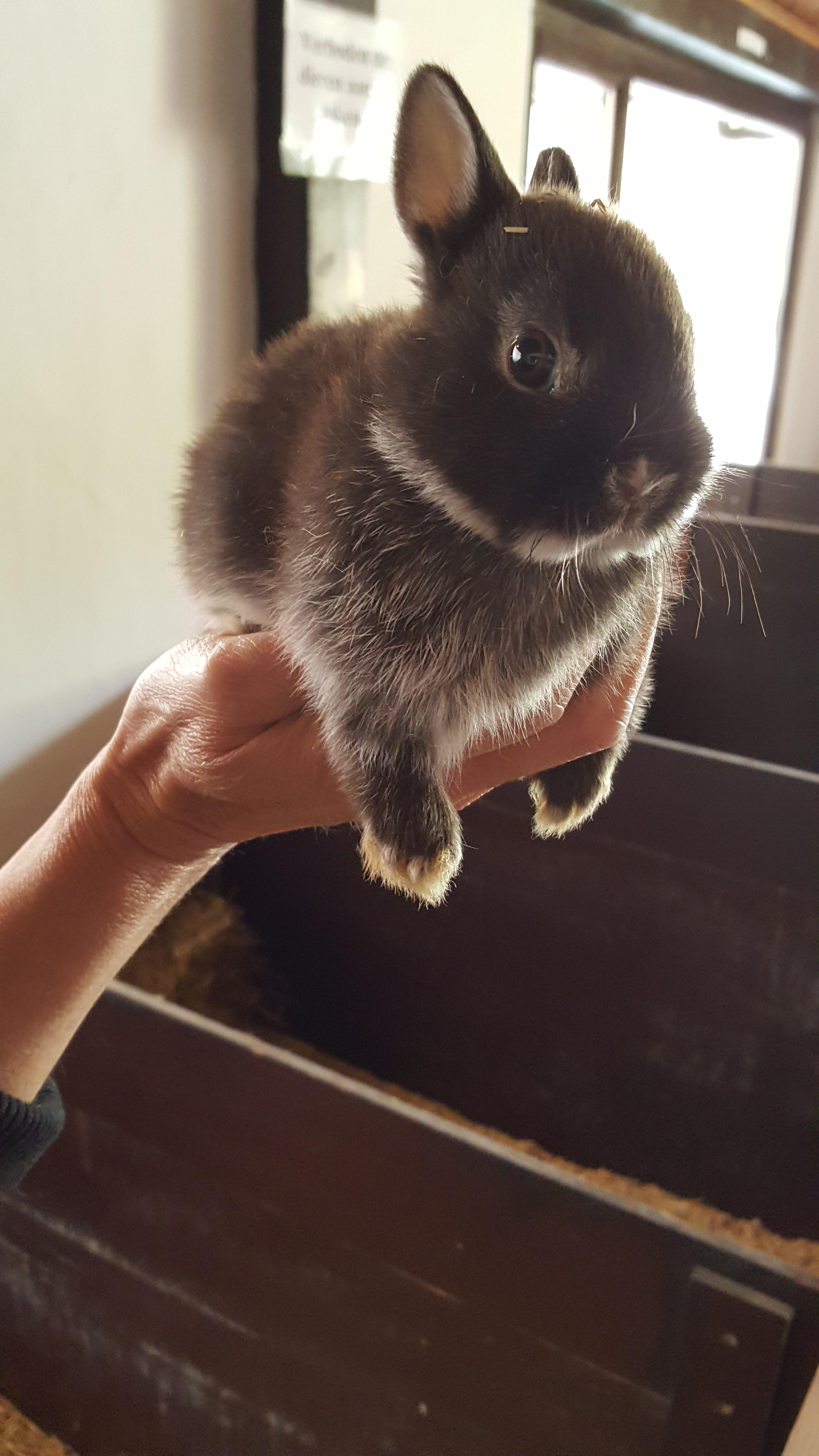 Mini Dwergkonijn