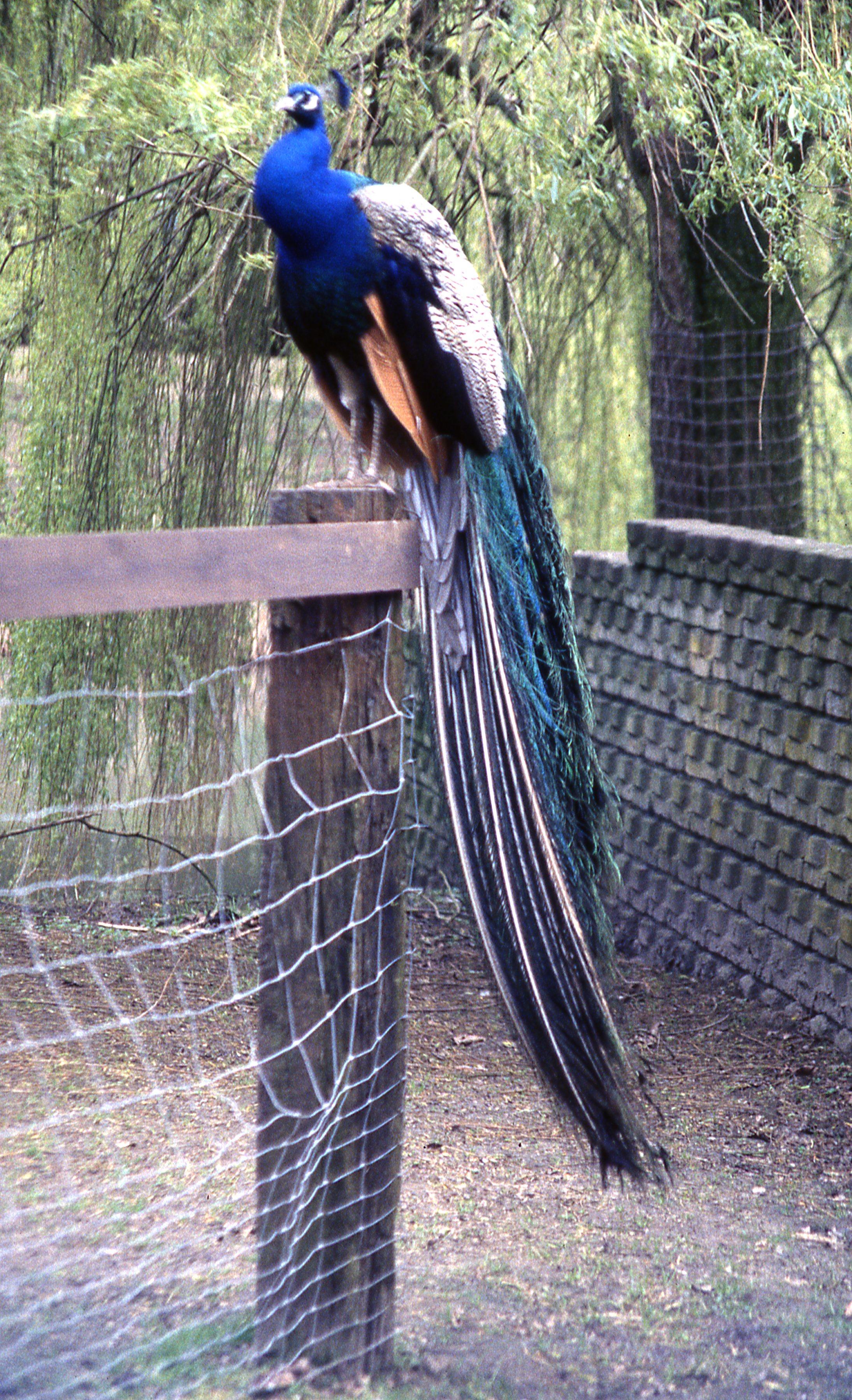 Blauwe Pauw 2