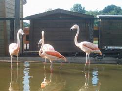 Chileense flamingo