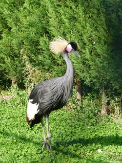 Zwarte Kroonkraanvogel