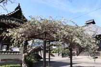 藤の花が咲き出しました