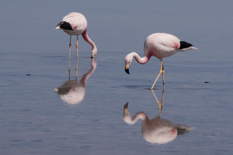 Flamingos, Salar de Atacama, Chile