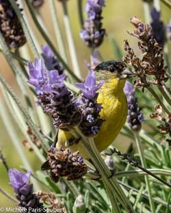 Feeding away at my Lavender