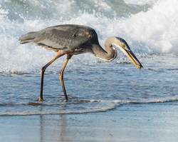 Blue Heron on the Pacific