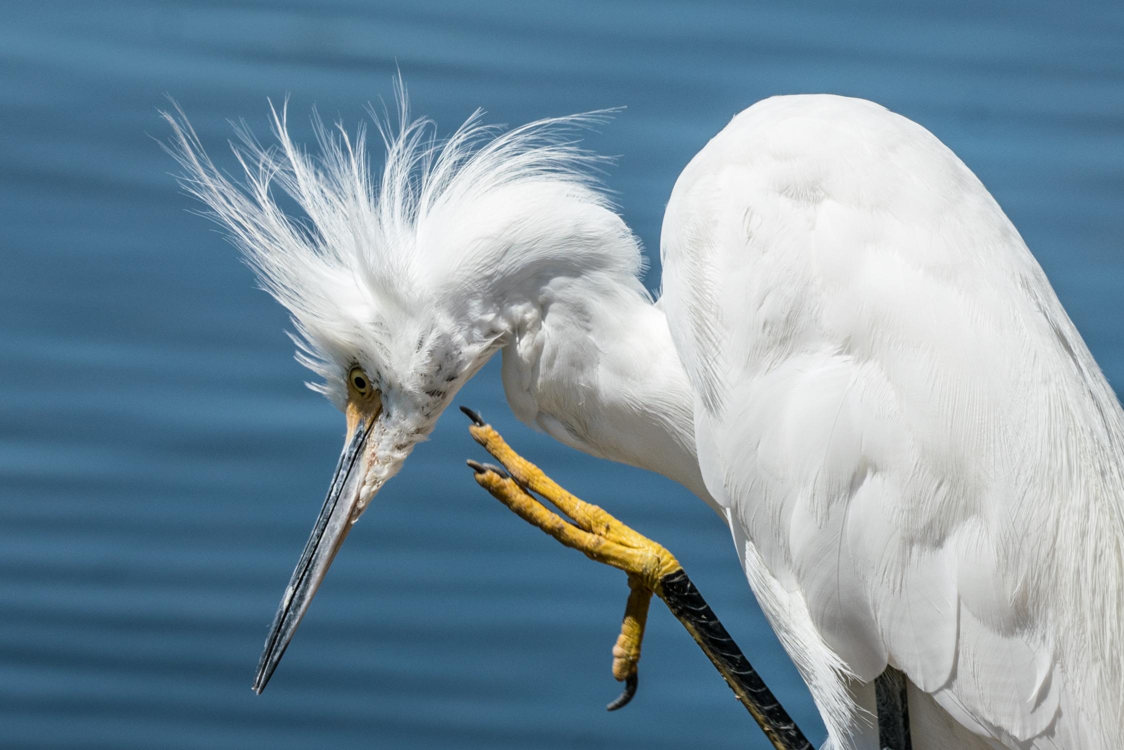 Egret at Work