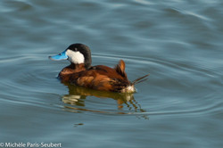 Ruddy Duck, Baylands