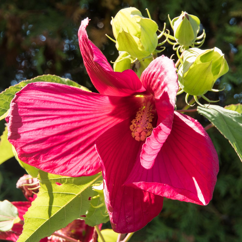 Hibiscus, Botanical Garden, Montréal