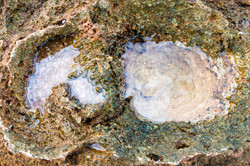 Oyster Shell Effect