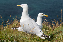 Gulls, Etretat, Normandy