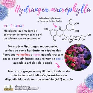 Hydrangea_macrophylla_final_(1).png