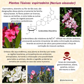 Nerium oleander..png