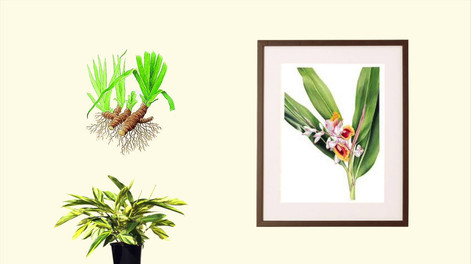 Alpinia zerumbet e Plectranthus barbatus