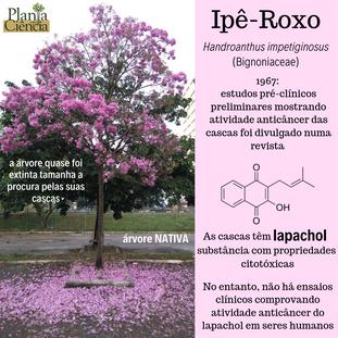 Ipê-Roxo.png