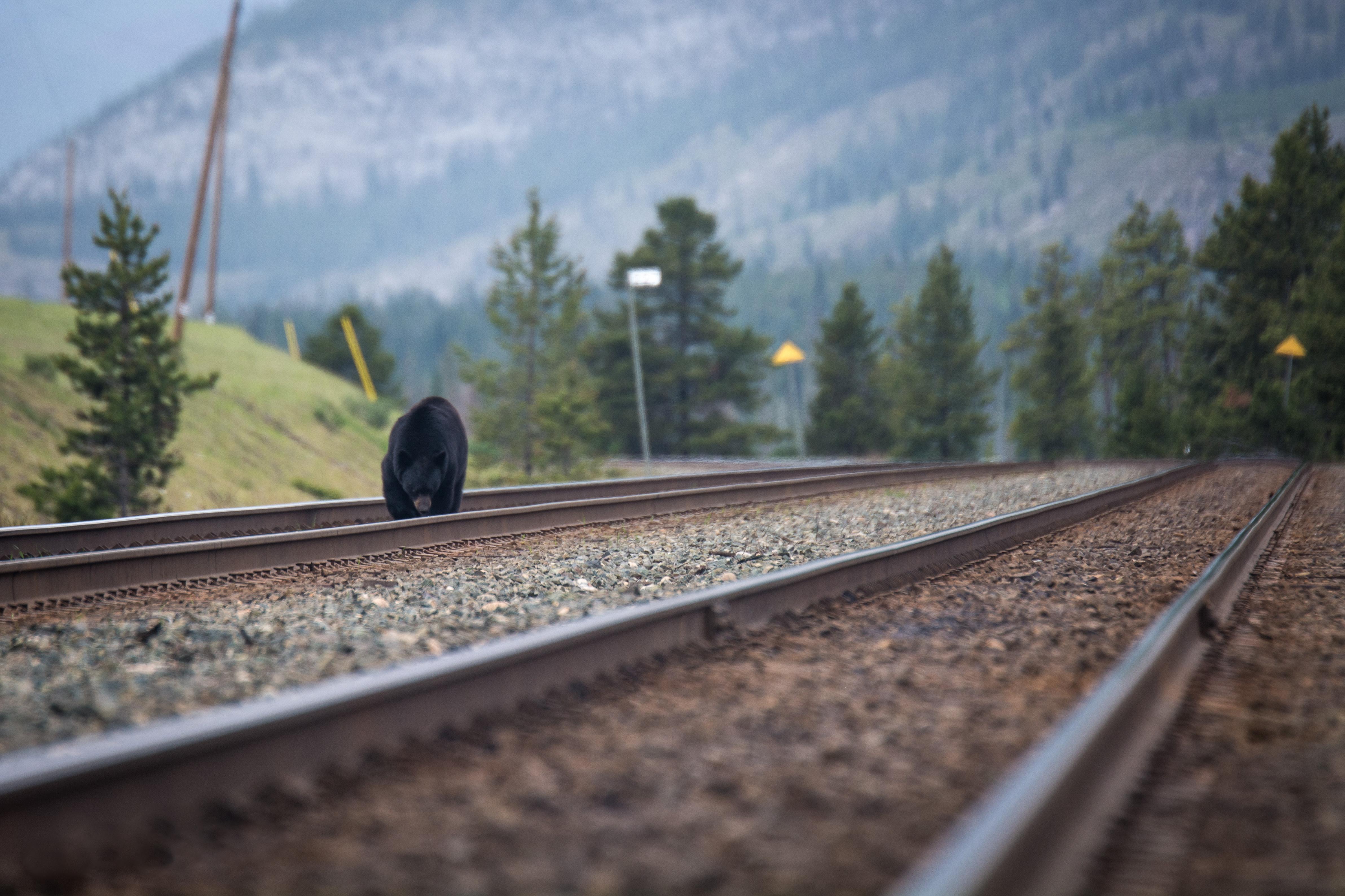Bear Tracks (1 of 1)