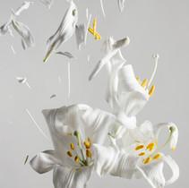 Lilium candidum D04n.jpg