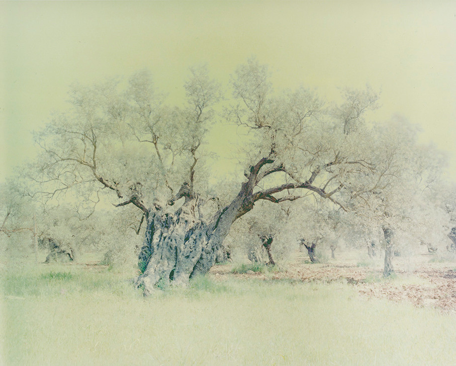 olive 15