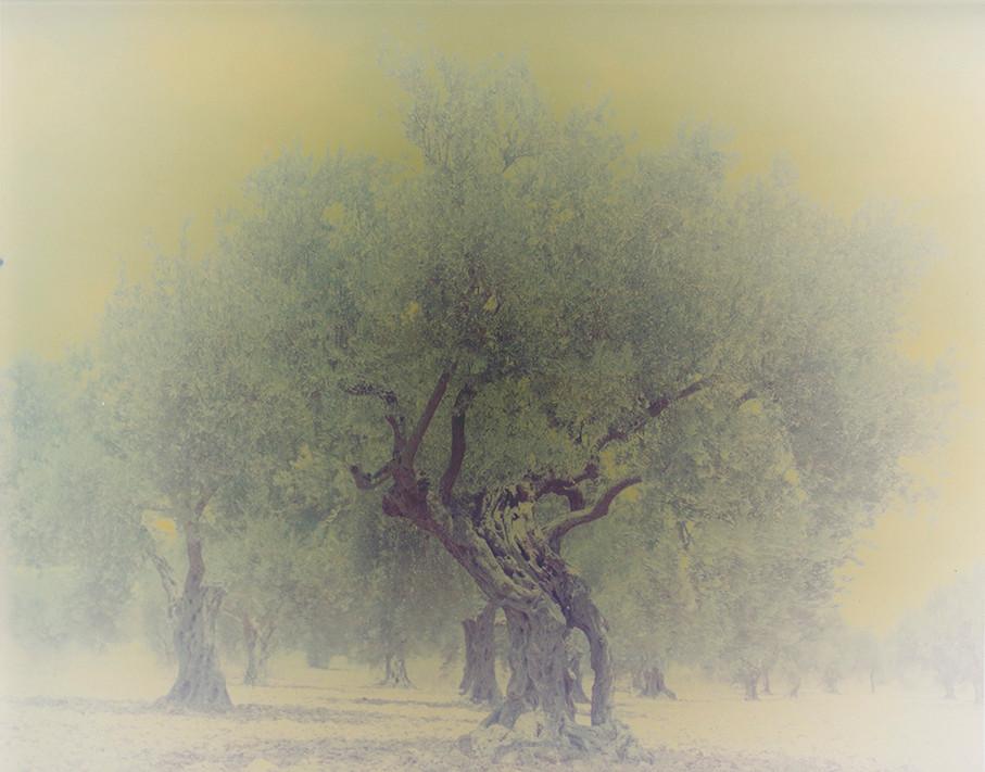 olive 03