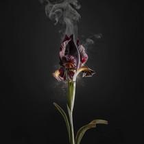 Iris atropurpurea D03