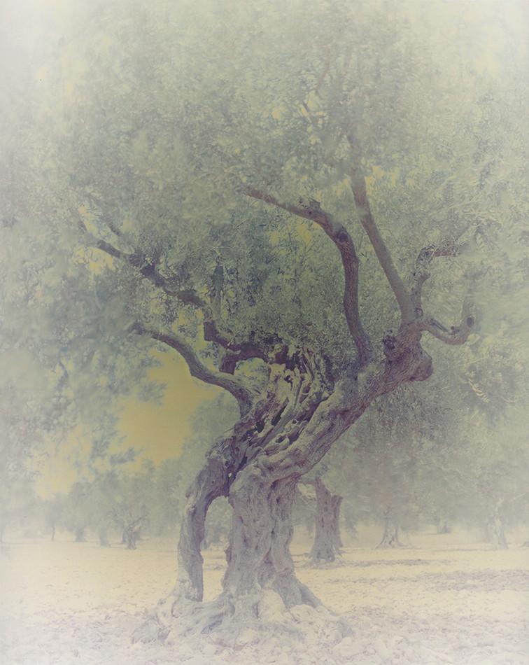 olive 06